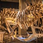 Die roten Knochen des Spinosaurus sind beeindruckend.